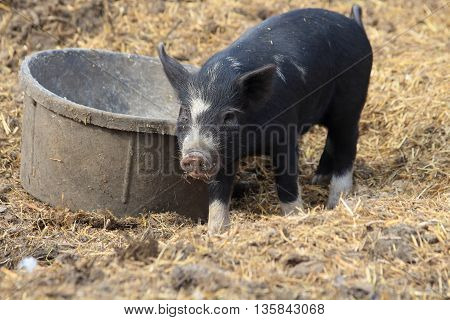 Black baby pig standing in front of its bowl.