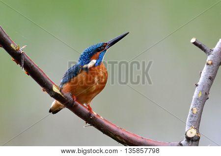 kingfisher in natural habitat (alcedo atthis)