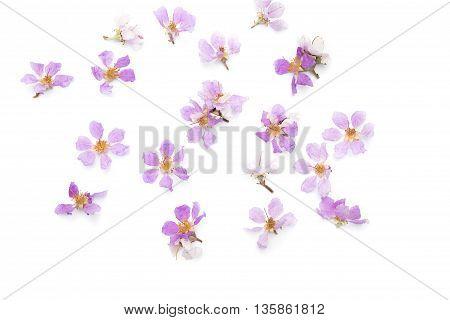 Lagerstroemia floribundaPurple flowerCananga flower (Cananga odorata) annonaceae Queen's Flower on white background.