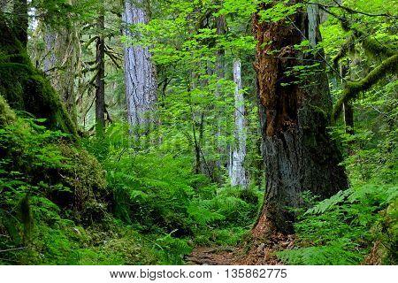The Vibrant Hoh Rainforest Trail.  Olympic National Park, Washington