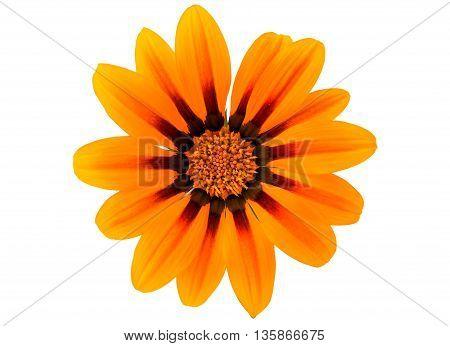Gazania yellow  flower isolated on white background