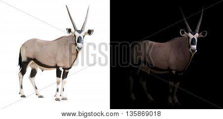 Oryx Or Gemsbok In Dark Background
