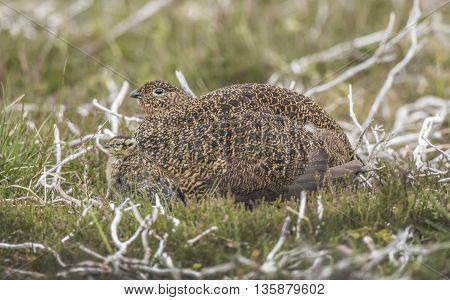 Red Grouse female and juvenile on Scottish moorland