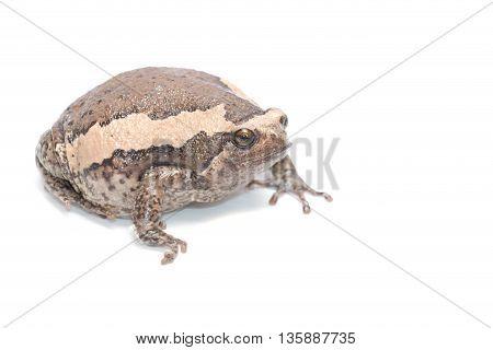 Close-up one big bullfrog on white background