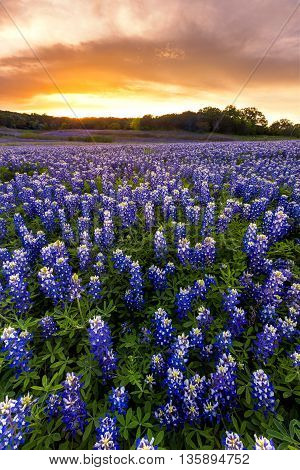 Beautiful Bluebonnets field at sunset near Austin Texas in spring