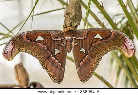 Atlas moth on its pupa, close up