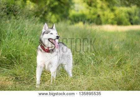Siberian husky on a walk in the wild nature. Siberian husky stands in the shade of trees.