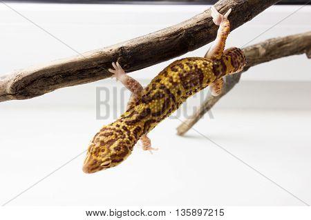 Leopard Gecko Male