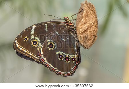 Blue-banded morpho Butterfly on moth pupa, close up