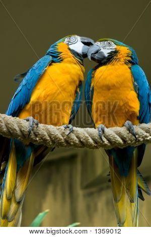 Blue Gold Macaw Couple