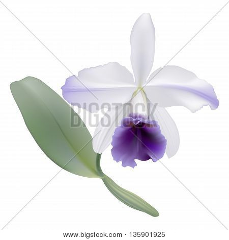 Orchid - Lc. Gaskell-pumila