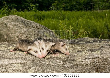 Three baby opossum crawling over a stone in the woods.