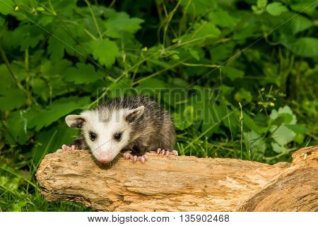 A baby opossum crawling on a stump in the woods.