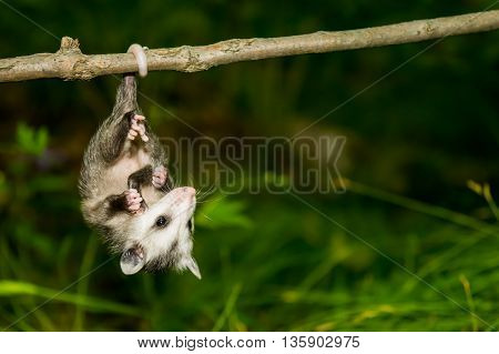 A baby opossum hanging on a branch from his tail.