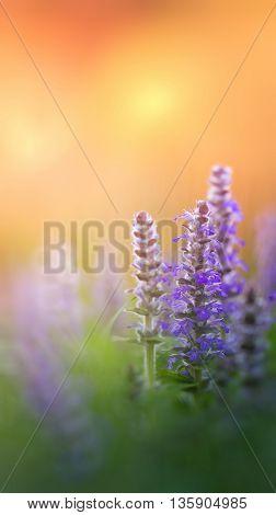 delicate flower Ayuga morning. Orange blurry background