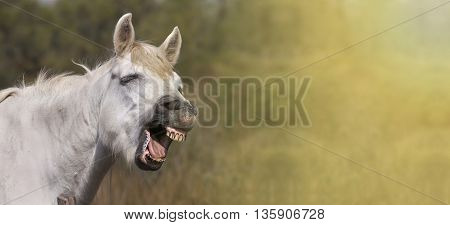 Funny white horse laughing in the camera