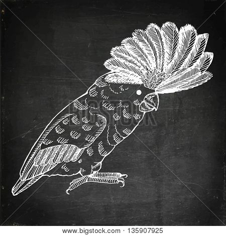 Parrot with pappus. Hand drawn vector stock illustration. Chalk board drawing.