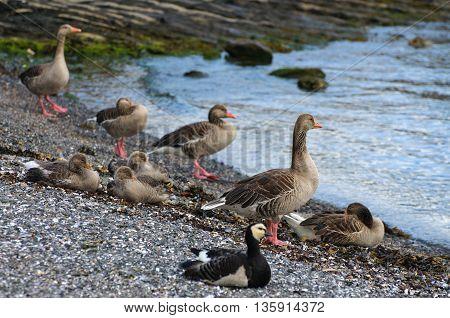 Barnacle geese on pebble beach Oslo Norway