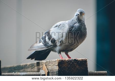 Selective focus and Close up of pigeon looking at camera (birds , doves, pigeon)