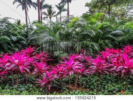 Tropical garden with vibrant fushia Ti plants lined against green palms with sky in background. poster