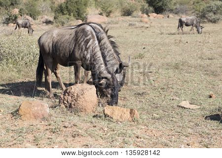 Blue Wildebeest In Pilansberg In South Africa.