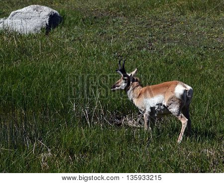 an antelope stands in a wetlands mwadow