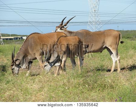 Eland Antelope, Koeburg Nature Reserve, Cape Town South Africa 11