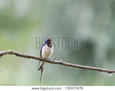 Bird in the rain at national park Oostaarders plassen, Holland