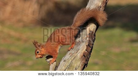 American red squirrel climbing down a tree with mouthful of acorns
