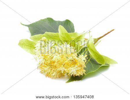 Linden (also known as lime and basswood) flowers on white background
