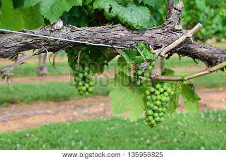 Green grapes on the vine early in the summer.