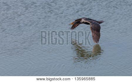 Double-crested Cormorant, Phalacrocorax auritus, flies over a marsh in Southern California