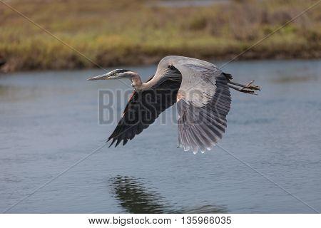 Great blue heron bird, Ardea herodias, flies over the marsh in Huntington Beach, California, United States