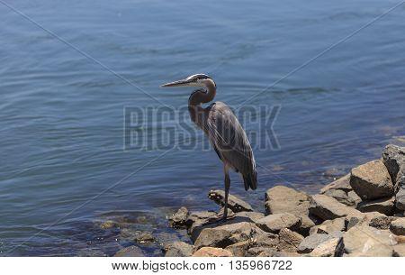 Great blue heron bird, Ardea herodias, in the wild, foraging in a lake in Huntington Beach, California, United States