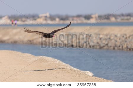 Turkey Vulture in flight (Catharte aura) in Huntington Beach, Southern California