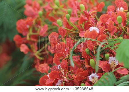 Flame Tree Flower Royal Poinciana