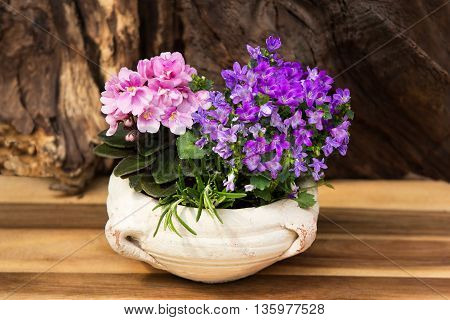 Pink And Lilac Indoor Flowers With Many Blossoms In A Earthen Pot.