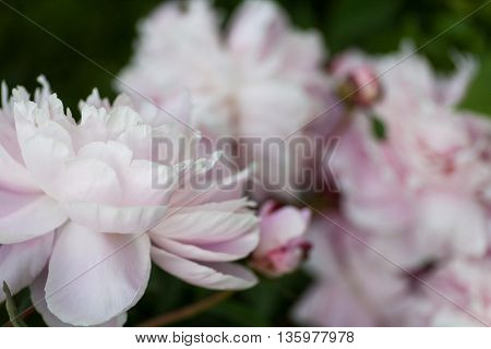 Dreamy, pastel pink peony blossoms fully blooming poster