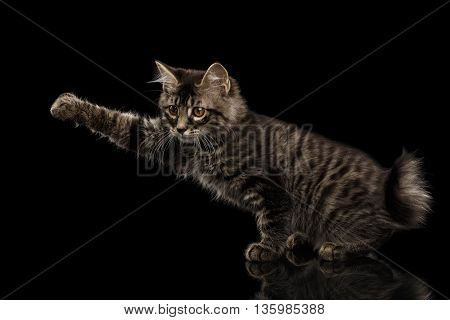 grabbing Kurilian Bobtail Kitty Raising paw, Isolated Black Background, Side view, Funny Hanting Tabby Cat without tail