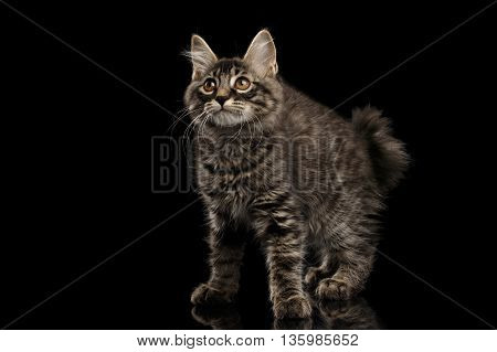 Cute crouched Kurilian Bobtail Kitty with Big Round eyes Curious Looking up, Isolated Black Background, Side view, Funny Cat Face, without tail