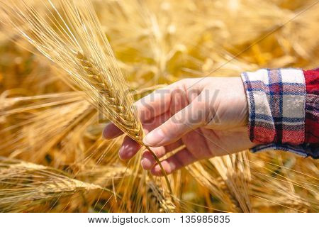 Female farmer's hand in agricultural barley field responsible farming responsible farming and crop protection