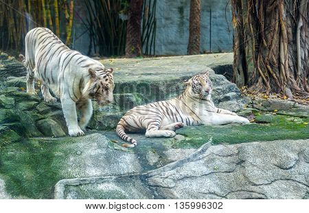 Two big tiger wooing, courting each other in morning, they very happy together herd behavior of live animals