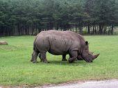 rhino gazing green grass on a african safari poster