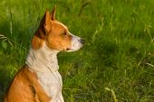 Outdoor portrait of gorgeous basenji dog delighting warm evening spring sun poster