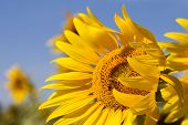 Close up of honey bee on sunflower with blue sky poster