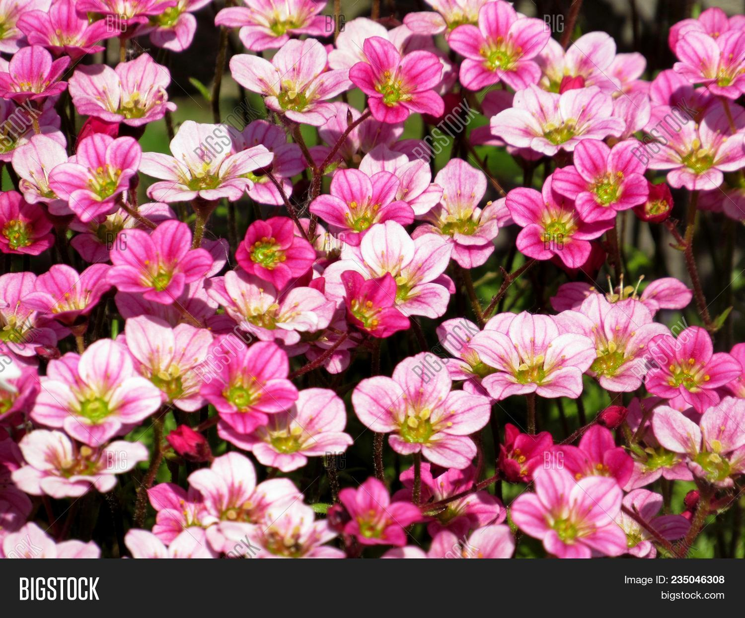 Background Little Pink Image Photo Free Trial Bigstock