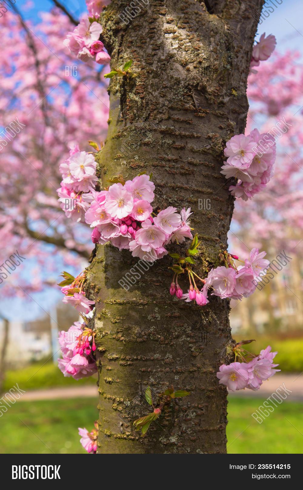 Blooming cherry tree image photo free trial bigstock blooming cherry tree trunk beautiful spring pink sakura cherry flowers floral spring background mightylinksfo