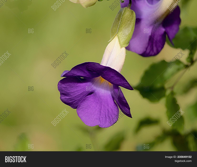 Purple Bells Purple Image Photo Free Trial Bigstock
