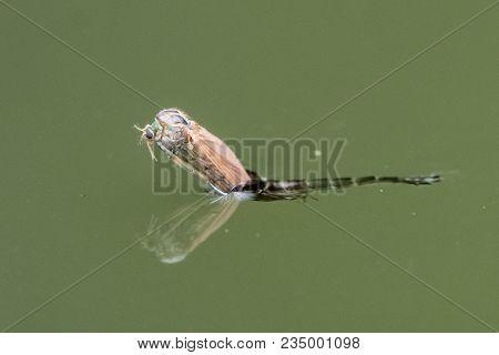Midge (chironomus Plumosus) Emerging From Pupa. Female Imago Of Non-biting Midge In The Family Chiro