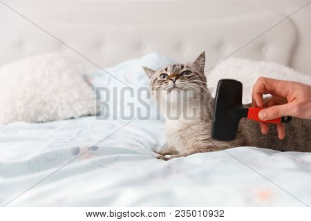 Spoiled Cat. Human Friendly Hand Spoil His Cat With A Special Pet Brush.